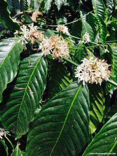 coffee-blossoms-the-jeromy-diaries