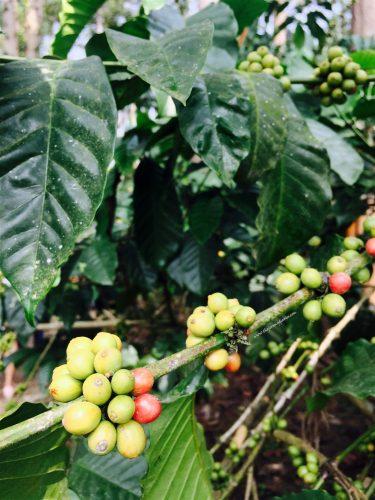 coffee-harvesting-at-nestle-coffee-demo-farm-the-jeromy-diaries