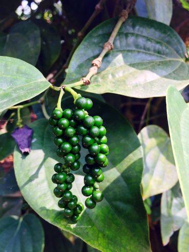 coffee-harvesting-nestle-coffee-demo-farm-the-jeromy-diaries
