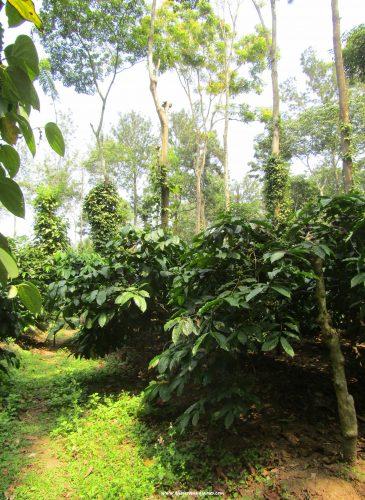 nestle-coffee-demo-farm-the-jeromy-diaries